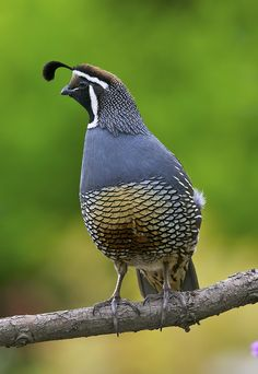 Quails are plump-bodied, mid-sized birds, most commonly brown, with white striped feathers. There are many breeds of quail across the world. Pretty Birds, Beautiful Birds, Animals Beautiful, Cute Animals, Exotic Birds, Colorful Birds, Kinds Of Birds, Game Birds, Wild Birds
