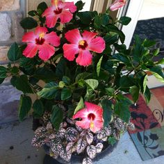 hibiscus in planter