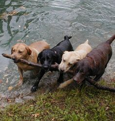 I threw 4 different sticks. They all came back with the same one. Carrying it back to me using teamwork!