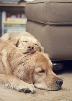 Goldens: the eternal snuggle bugs!