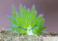 This Sea Slug Looks Like A Day-Glo Sheep And Can Photosynthesize Its Own Food