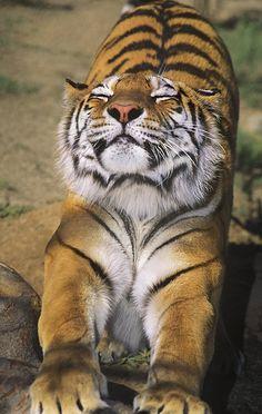 Een zware dag Siberische tijger Endangered Species Wildlife Rescue Print door Dave Welling