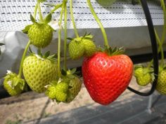7 Delicious Fruits You Can Grow Indoors This Winter