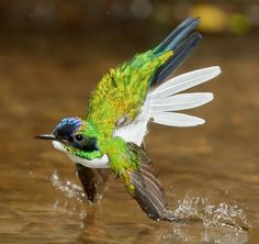 Purple-crowned fairy hummingbird flying + bathing in a small stream in costa rica | bird + wildlife photography
