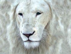 tygr albín - Hledat Googlem