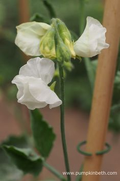 For me, sweet peas are one of the real joys of summer. The sweet pea's frilly flowers have a powerful yet serene fragrance, which gently envelops the garden