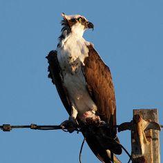 ruffled osprey