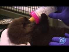 Someone Out There Has the Dream Job of Making Sure Baby Otters Stay Fluffy - Cheezburger