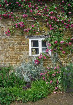 Pink climbing rose on a stone wall at Brook Cottage Garden, Alkerton