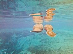 Swim with Manatees on the Crystal River.