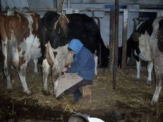AMISH DISCOVERIES: Amish Milking Moment