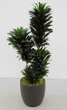 Easy To Grow Houseplants Clean the Air Dracaena Janet Craigii Compacta