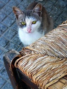 Portrait of a cat near an old straw chair. Merihas port. Kythnos island, Cyclades, Greece