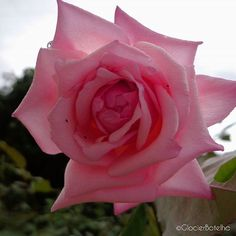 {53/365}  Updating project, 365 days of photos.  -----  Atualizando projeto, 365 dias de fotos.    #500px #glocierbotelho #photographer #photographyofday #photo #photography_nature #picture #nature #natureza #mushroom #garden #flowers #photooftheday #amazing #picoftheday #rose