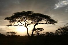 """When """"they"""" tell you to find a """"space to go to"""" during shavasana...this is where I go. A beautiful sunny day in the Serengeti with only this tree in sight for miles..."""
