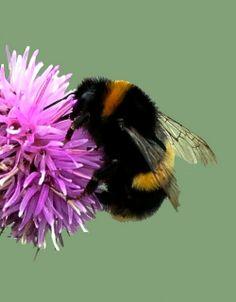 ♥ Bumblebee