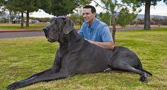 guinness cane più grande - Cerca con Google