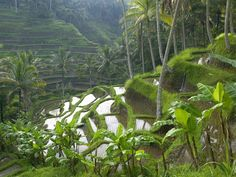 Rice terrace outside of Ubud