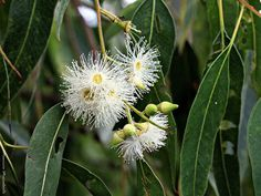 Eucalyptus grandis W.Hill ex Maiden (E. saligna Sm. (p.p.) Salignabloekom