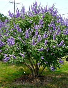 Vitex / Chaste tree -Grows well in Texas. Deer will not touch it, drought will not droop it and if it gets too tall you can cut it back hard since it blooms on new wood. Looks amazing mixed in with grasses and Knockout roses.