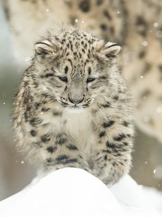 first steps in the snow - little snow leopard