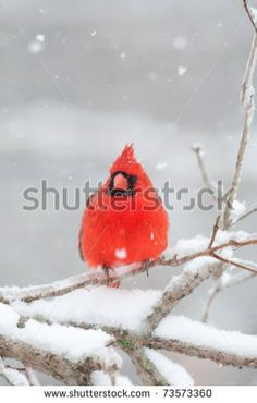 Cardinal Bird In Snow Stock Photos, Royalty-Free Images & Vectors ...