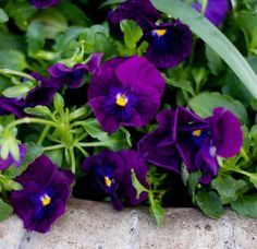 Looks just like velvet!  #royal #purple #pansiola #pansy #viola #pretty #spring #flower #flowers #bloom #blooms #instablooms #instaflower #flora #floral #florals #mygarden #garden #gardens #gardening #gardenlovers #nature #natural #nofilter #beautiful #lovely #velvet #soft #provenwinnersplants