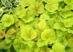 "Heuchera - ""hardy perennials for the South that display of the most amazing and startling foliage colors imaginable. If you thought hostas ruled the shade garden, well...... they might just have been dethroned.""  Electric Lime w/ white spring flowers.  Evergreen."