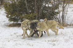 Pack of Timber Wolves