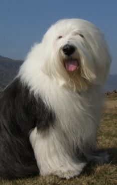 Mark loves Old English Sheep Dogs! Big Dogs, I Love Dogs, Cute Dogs, Dogs And Puppies, Cute Puppies, Doggies, Large Dogs, Old English Sheepdog Puppy, English Dogs