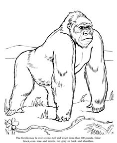 Wild Gorilla drawing and coloring page✖️More Pins Like This One At FOSTERGINGER @ Pinterest✖️