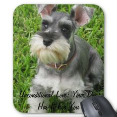 Amazing history of dog breed - Miniature Schnauzer. Diseases of Miniature Schnauzer. Schnauzer Mix, Miniature Schnauzer Puppies, Schnauzers, Standard Schnauzer, Cute Puppies, Cute Dogs, Dogs And Puppies, Doggies, Australian Shepherd Red Tri