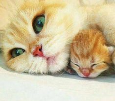 (9) Twitter Siamese Cats, Cats And Kittens, I Love Cats, Cool Cats, Cats Diy, Cat Boarding, Cute Little Things, Cat Facts, All About Cats