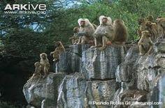 Risultati immagini per hamadryas baboon
