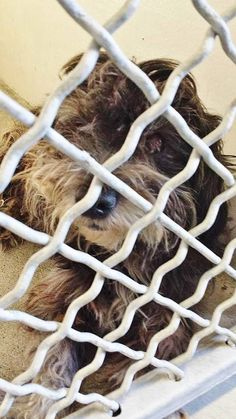 SAFE --- #A4786470 I'm an approximately 4 year old female maltese. I am already spayed. I have been at the Carson Animal Care Center since December 22, 2014. I will be available on December 26, 2014. You can visit me at my temporary home at C227.    Carson Shelter... https://www.facebook.com/171850219654287/photos/pb.171850219654287.-2207520000.1419536248./350210758484898/?type=3&theater