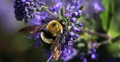 Abelhapoliniza flor no jardim de uma área de proteção para abelhas na Alemanha