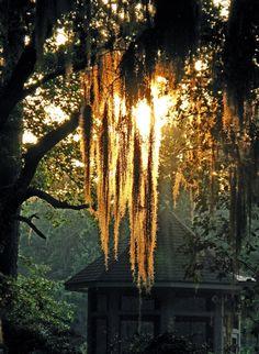 Spanish Moss Sunset  Sun sets through Spanish Moss on Hilton Head Island, South Carolina in early May. Southern Hospitality, Southern Comfort, Southern Charm, Southern Belle, Southern Girls, Southern Living, Coastal Living, South Carolina, The South
