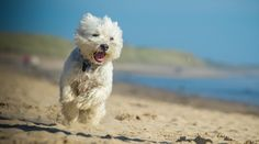 Best Hypoallergenic Dog Breeds: 20 Different Breeds That Don't Shed Best Big Dog Breeds, Best Hypoallergenic Dogs, Pumi Dog, Big Dogs, Shed, Teddy Bear, Animals, Friends, Amigos