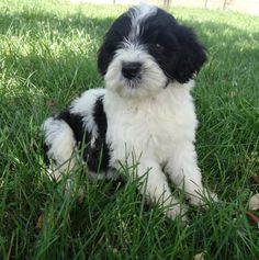 My name is Chance I live with my mom Shannon and I am her second PWD . Mom just needed me and I love her for it. In my new home I have children to run and play . Cutest Puppy Ever, Portuguese Water Dog, Havanese, My Mom, Cute Puppies, Love Her, Kitty, Sky, Future