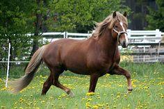 Finnhorse stallion Jalopeno