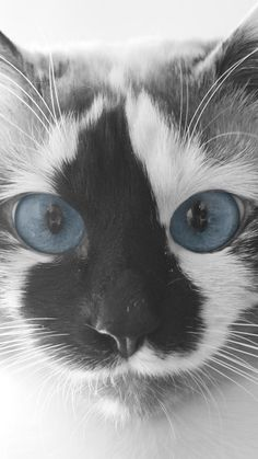 Blue eyed kitty. What a beautiful creature