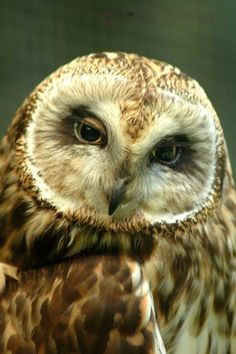 photo card (Brown short eared owl) --- the look !! wisdom ? derision ? or just drowsy ?