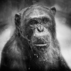Behind Glass, black and white photographs of primates Anne Berry