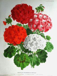A beautiful chromolithograph a double size antique botanical print entitled VARIETES DE PELARGONIUM HYBRIDUM Depicting four different varieties of