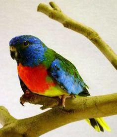 Male Splendid (or scarlet chested) parakeet
