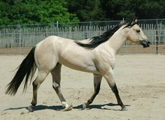 One of my three or four dream horses from this breeder. Never thought a quarter horse could be a dream horse to me, but 15 hands is just right. And these colors! This is an AQHA registered buttermilk buckskin. photo: Cassidy Cobarr.