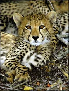Cheetah Pictures To Print | baby-cheetah-pictures.jpg