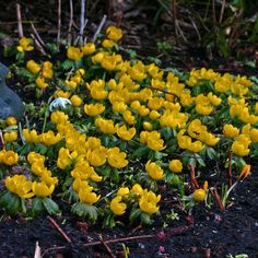 Winterlinge (Eranthis hyemalis) - Wenn sie sich einmal an einem Standort wohlfühlen, breiten sie sich aus und blühen jeden Frühling schöner - auch an schattigen Standorten, unter Bäumen, im Schattengarten. Pflanzzeit für die Blumenzwiebeln: Herbst. Online erhältlich bei www.fluwel.de