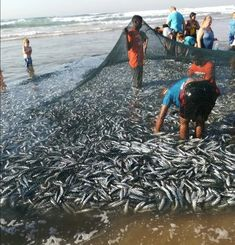 The sardine run at Toti beach Durban- SA