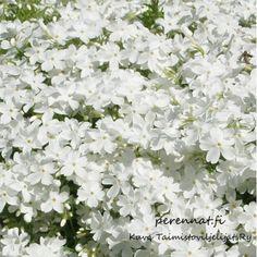 Sammalleimu Phlox subulata valkoinen